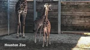 click2daily houston zoo welcomes 2 baby giraffes in april