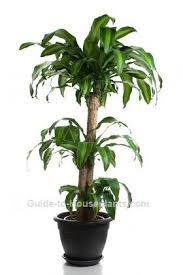 corn plant dracaena fragrans indoor house plants common house