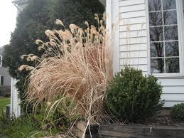 p y how to take care of your ornamental grasses pruning and