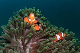 clownfish and host anemones matches