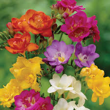 freesia flower mixed freesia 15 bulbs indoors or out 6 cm bulbs
