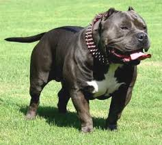 american pit bull terrier breed standard ukc forums american bully