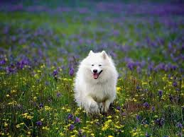 american eskimo dog varieties american eskimo dog a collection of ideas to try about animals
