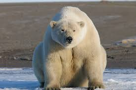 white bear wallpapers hd download