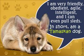 characteristics of a australian shepherd personality traits of a tamaskan dog you u0027d want to know about