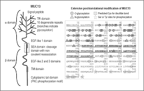 mucin 13 structure function and potential roles in cancer