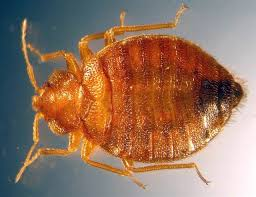 Chicago Bed Bug Experts Bedbug Invasion Is Turning Into Big Business Business Us