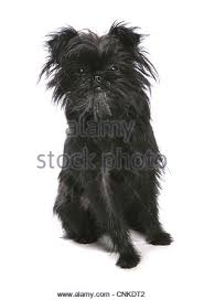 affenpinscher white affenpinscher dogs stock photos u0026 affenpinscher dogs stock images