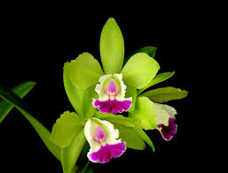 orchid pictures photo 16 green pink mini jpg