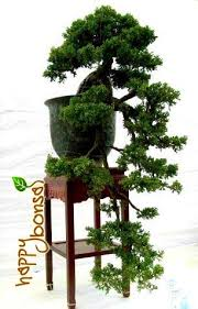 bonsai trees tree species commonly used for bonsai trees happy