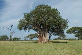 madagascar native plants the baobab a peculiar african tree with potential havasi