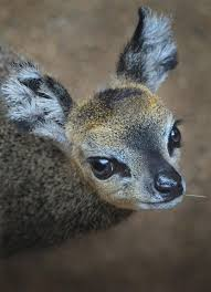 the new klipspringer calf at the san diego zoo is so cute she