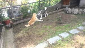 australian shepherd wolf mix train pitbull pitbull akita wolf mix puppies what do you get when