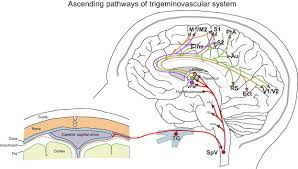 Pain Reflex Pathway Migraine Pathophysiology Anatomy Of The Trigeminovascular Pathway