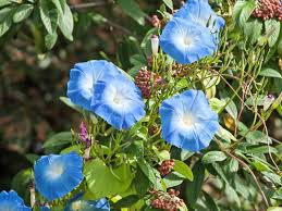 how to grow easy care morning glories