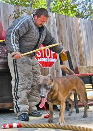 belgian shepherd 2 months note to the american public belgian malinois look don u0027t touch
