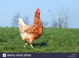 chicken breeds lohmann brown with backyard poultry forum view