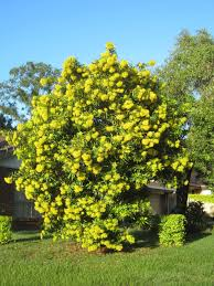us native plants golden penda a beautiful tropical rainforest tree australian