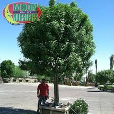 23 best patio small trees los angeles images on pinterest