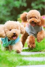 poodle vs bichon frise best 25 teddy bear dogs ideas only on pinterest teddy bear