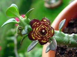 native plants of india frerea wikipedia
