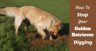 Can You Bury A Dog In Your Backyard How To Stop Your Golden Retriever Digging A Step By Step Guide