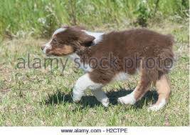 running with australian shepherd puppy running australian cattle dog stock photos u0026 running australian