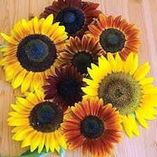 Flower Seeds Online - buy sunflower autumn beauty seeds online india buy flower seeds