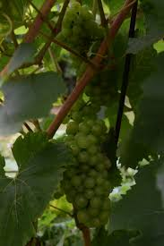 chardonnay u2013 vinesight