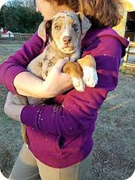 australian shepherd lab mix for sale watson adopted puppy charlotte nc australian shepherd mix
