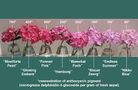 pink hydrangea curious chemistry guides hydrangea colors american scientist