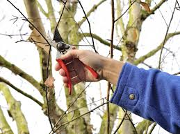 best time to prune birch trees tips on pruning birch trees