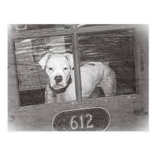 boxer dog white white boxer dog gifts on zazzle
