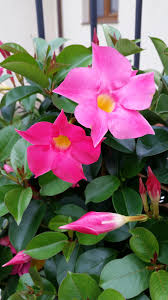 mandevilla reassurance acceptance wholeness
