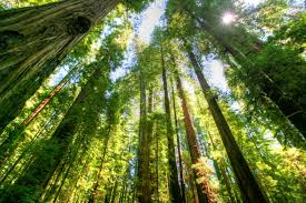 California forest images Redwood forest california travel bugster jpg