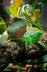 448 best reptile images on pinterest animals chameleons and iguanas