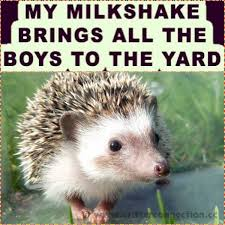 Hedgehog Meme - hedgehog hedgie breeder millermeade critterconnection milkshake