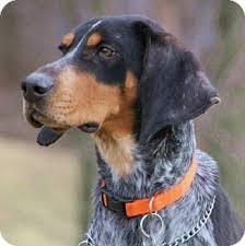 bluetick coonhound drool today u0027s five o u0027clock cuteness is flower a one year old bluetick