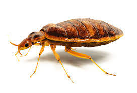 Chicago Bed Bug Experts How To Get Rid Of Bed Bugs How To Kill Bed Bugs Bed Bug Treatment