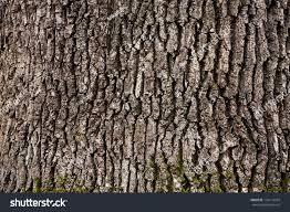 White Oak Tree Bark Tree Bark Texture Stock Photo 126114974 Shutterstock