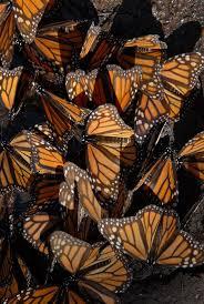 Monarch Migration Map Best 25 Monarch Butterfly Migration Ideas On Pinterest