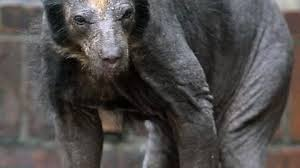 Hairless Bear Meme - most animals get funnier when you shave them bears just get