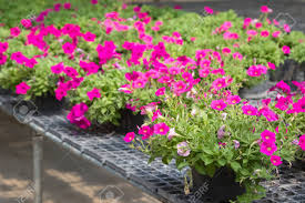 flowers for sale flowers in pots on sale in plants nursery stock photo picture and