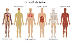Anatomy And Physiology Nervous System Study Guide Inner Body Archives Page 61 Of 73 Human Anatomy Chart