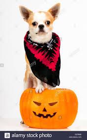 halloween pet background jack o u0027 lantern pumpkin puppy chihuahua puppy on orange