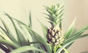 ornamental pineapple plant groupon