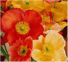 poppies flowers skin rash hives dermatitis flowers beautiful flowers and gardens