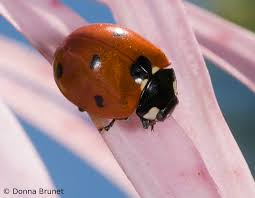 lady beetles ladybird beetles ladybugs mdc discover nature
