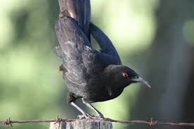 white winged chough birds in backyards