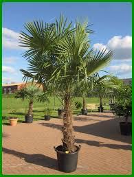 palme f r balkon winterharte palmen kaufen winterharte trachycarpus fortunei